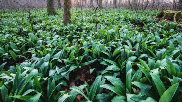gibt es auf den Feldern im Lehmsieker Wald viel, du musst eigentlich nur dem Geruch folgen.