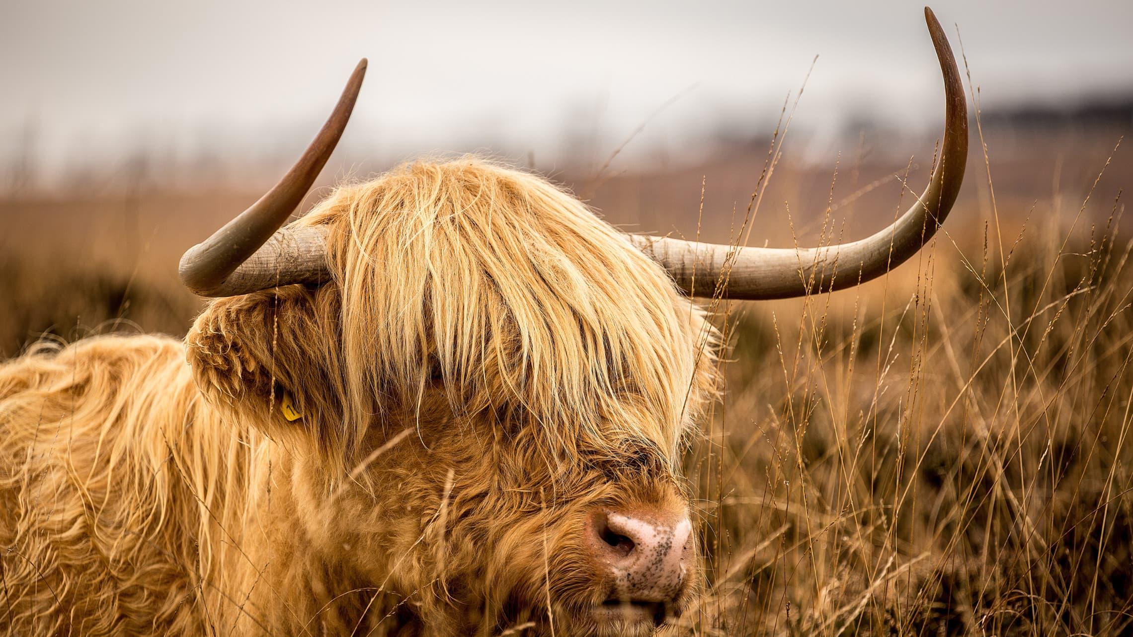 In der Geltinger Birk leben Konik-Pferde und Hochland-Rinder