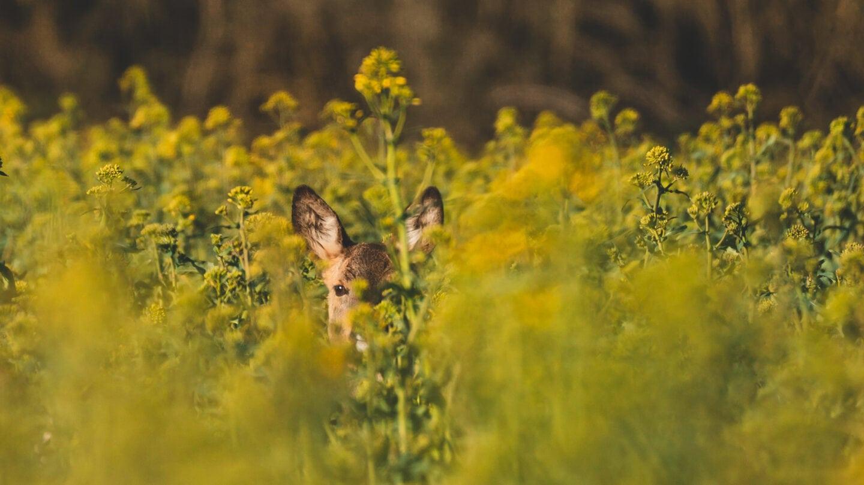 Ein Reh versteckt sich zwischen der Rapsblüte