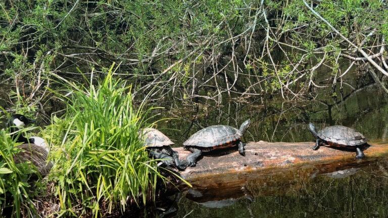 In der Schwentine leben sogar Schildkröten. Auf einer Kanutour kannst du sie besuchen.