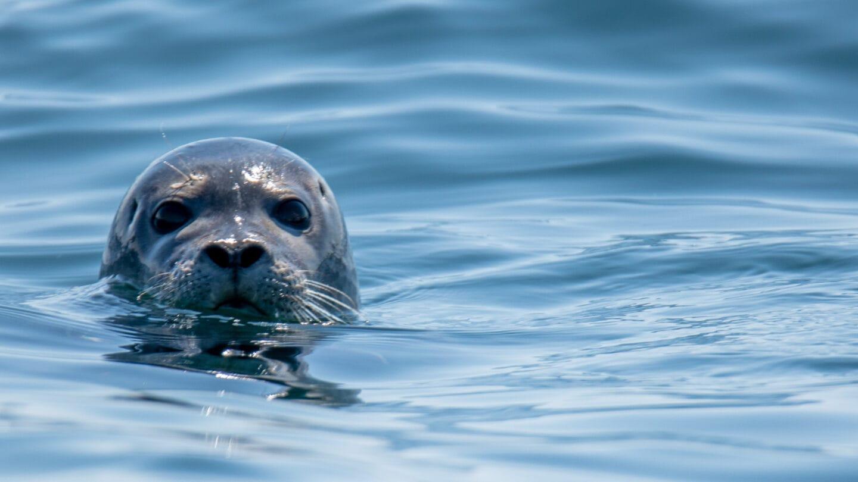 Im Beltringharder Koog schwimmen sogar Seehunde