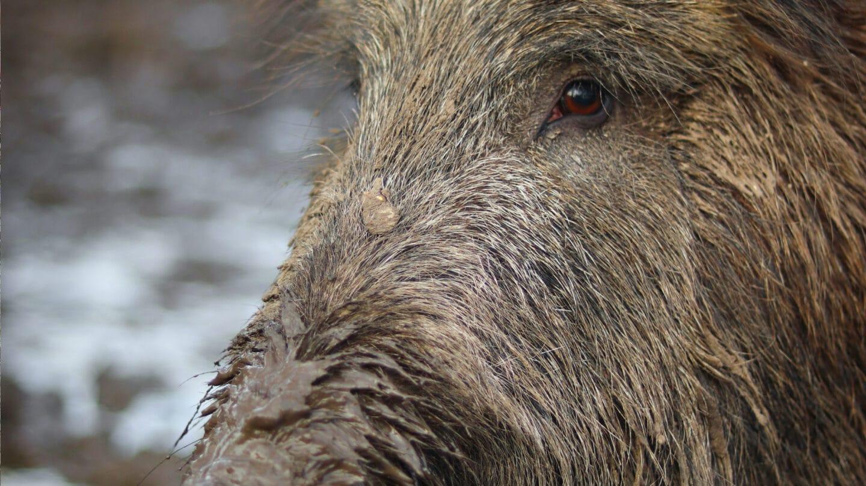 In der Marienhölzung in Flensburg suhlen sich die Wildschweine im Dreck.